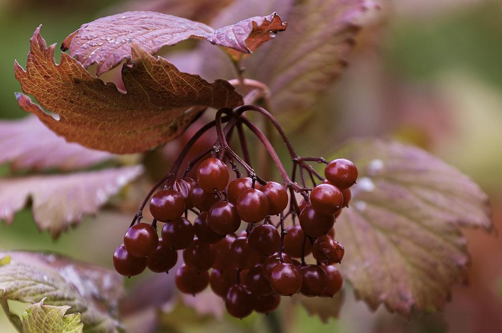 Rote Beeren im Herbst