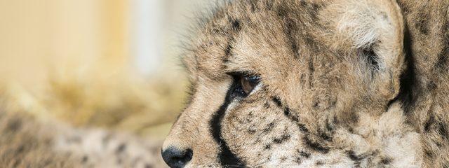 Geparden Junge 2015